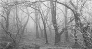 photograph of a wood in a mist